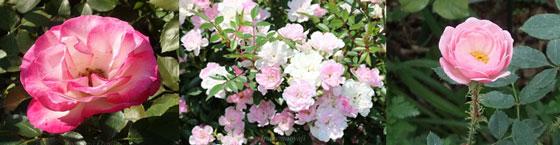 お奨めのミニバラの3品種