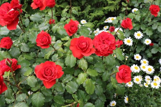 燃えるような緋赤色のバラ