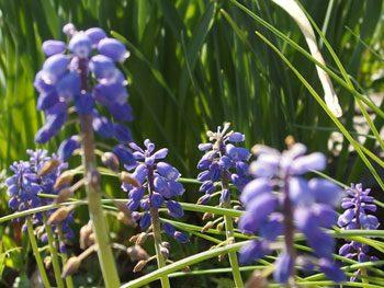 秋植え球根のムスカリ 春に咲く紫色の美しい花