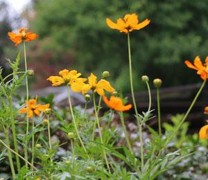ポットマリーゴールドの咲く庭