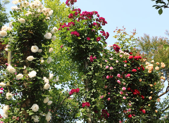 春のつるバラの開花風景です