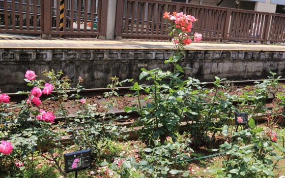 都電荒川線のバラ