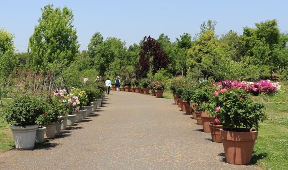 花菜ガーデンの風景 鉢植えのバラが栽培されている