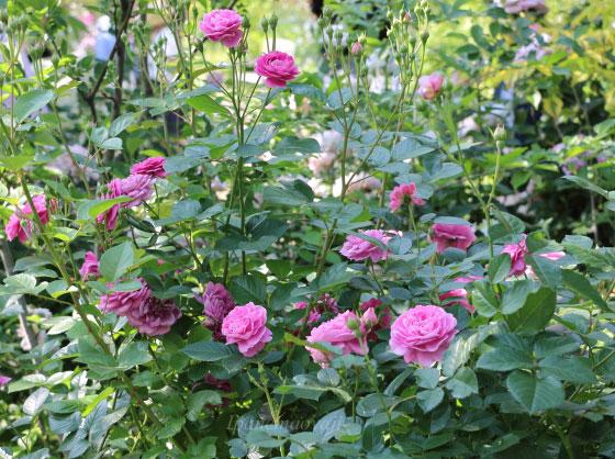 修景バラは一般的に公共の場所で栽培されることが多い