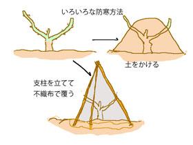 バラの防寒対策3つの方法