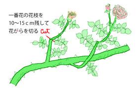 夏に行うつるバラの花がら切り手順