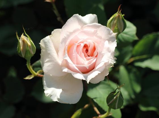 1~5輪の房咲きになり、花つきのよい品種