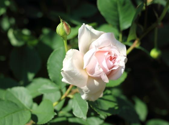 モニークダーヴは花もちはよいバラ