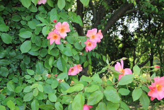 一重咲きの花弁の弁芯のシベは大きく広がります