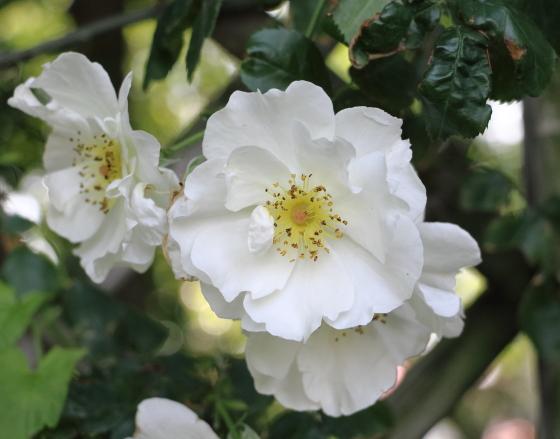 マウンテンスノーの葉色は濃い目の緑色で白い花とのコントラストが美しい