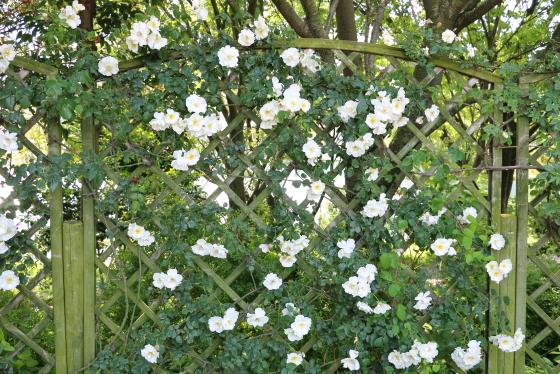 マウンテンスノーの枝は細いが450cm以上にも伸長する