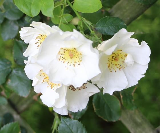 マウンテンスノーは数輪の房咲きになり花つきがよい