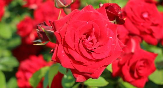 赤バラの中でも直射日光にも日焼けしにくい品種です