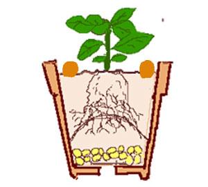 鉢栽培の表土に追肥として置肥する