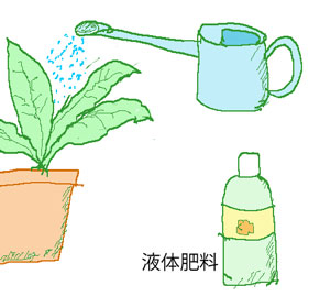 水やりと共に液体肥料を施す