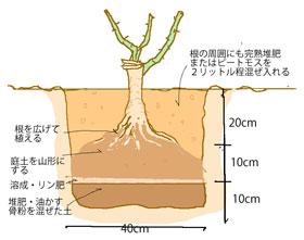 バラ苗の植えつけ時の深さや穴のサイズ