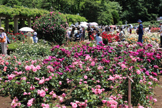 春の晴れた神代植物公園・バラ園の風景