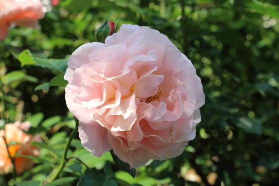 ザンガーハウザーユビレウムスローゼは淡いピンク色の花色