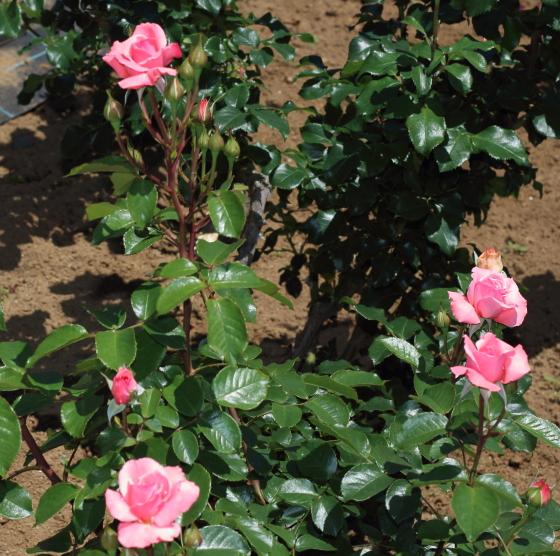 濃緑色の照り葉とピンク色の花そして樹形のバランスが美しい品種です