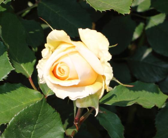 シンプリーヘブンはツボミの花色は少し濃い目のバニラ色