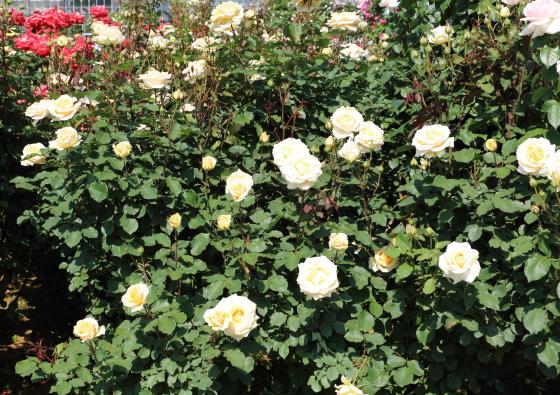 シンプリーヘブンは端数が多くよく茂ります