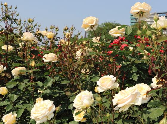 基本は1輪咲きだが温暖地では房咲きになることもある