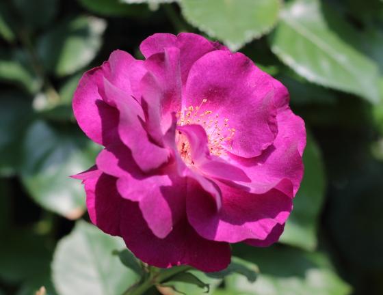 ソニャドールは丸弁平咲きで弁芯のシベがよく見える
