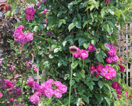 ソニャドールは葉は濃い緑色で厚みがある