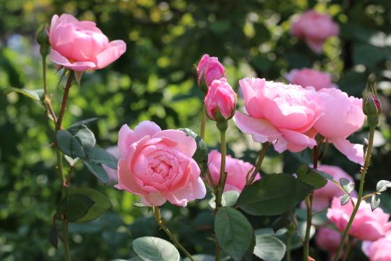 ジアレンウィックローズは数輪の房咲きになり花つきがよい