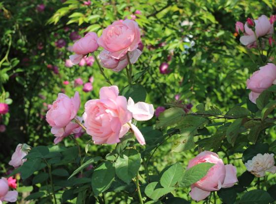 葉色は明るい緑色でピンクの花とのコントラストは見事ですね