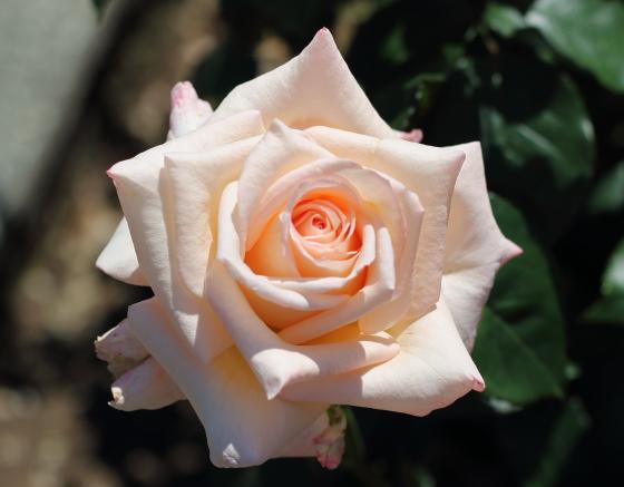 ニラ・パフュームは見事な剣弁高芯咲きで整っています