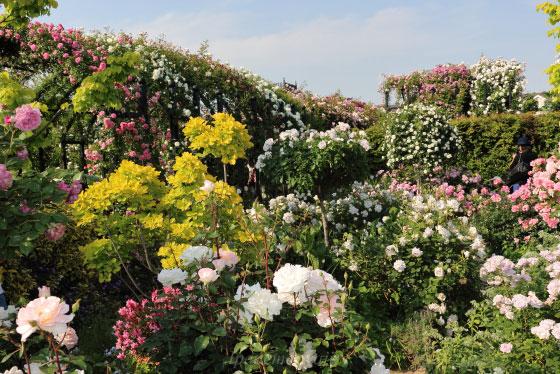 横浜イングリッシュガーデンの風景 つるバラが多く彩りが豊かなバラ園です