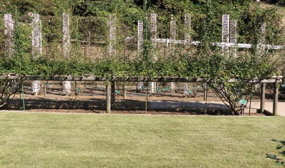 生田緑地ばら苑のつるバラ