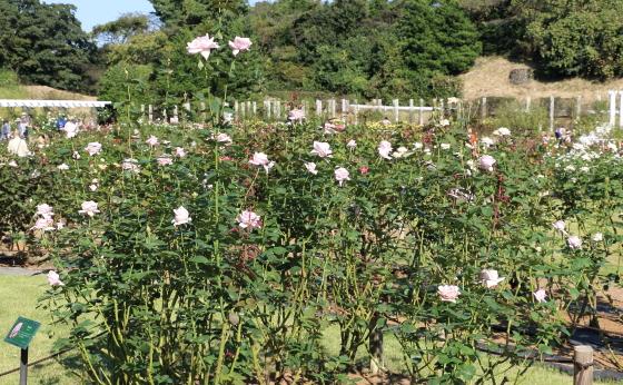 秋の生田緑地ばら苑の風景