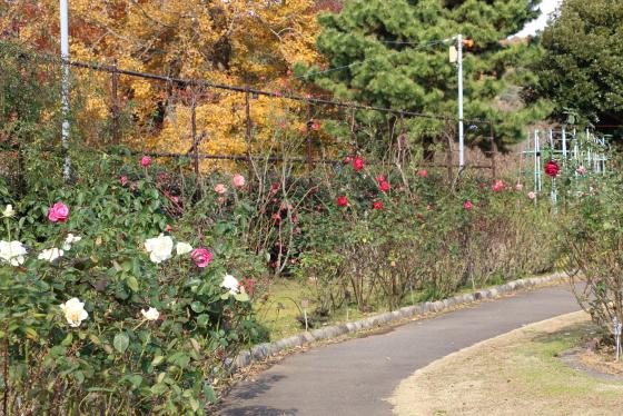 大船植物園のバラ