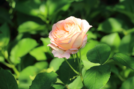 ペッシュ・ボンボンはシュラブ系でシュートの発生も活発なバラ