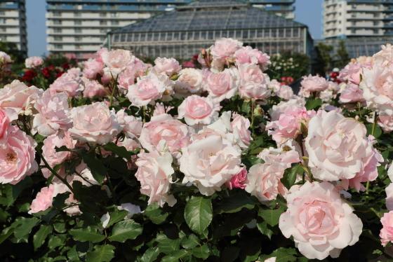 早春は株全体を覆いつくすほどの花つきがよい