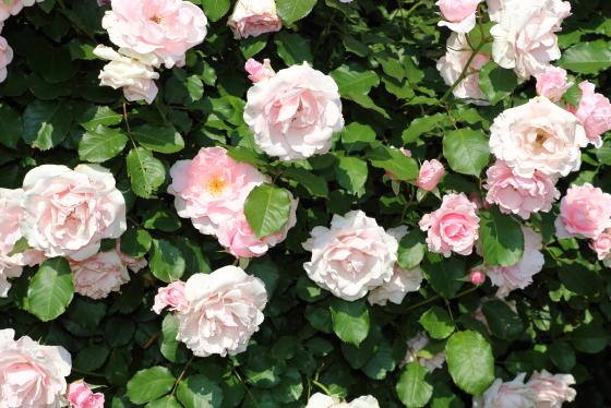 淡いピンク色の花と明緑色の葉色とのコントラストが美しいです