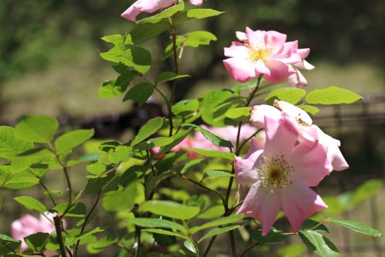 シュパリースホープ 春後も秋まで繰り返し花をつけます