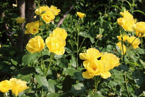 田毎の月は一重咲きのバラです