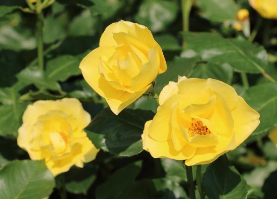 田毎の月は一重咲きで中輪サイズの花弁