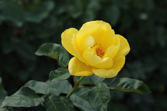 黄色いカップ咲きになる