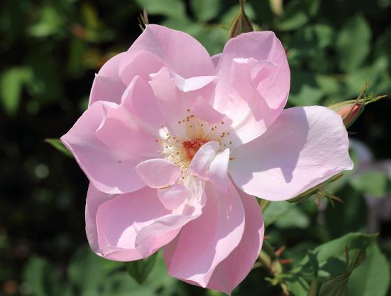 ザ・レディーズ・ブラッシュは半八重咲き品種です