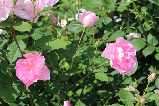 葉は明緑色で花首が長いバラ