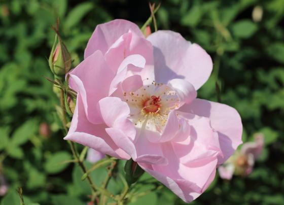 弁芯のゴールドのシベとピンクの花色のコントラストが美しいバラ