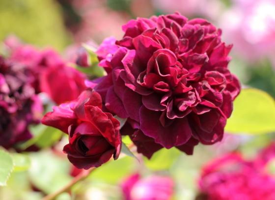 クォーター・ロゼット咲きで芳香があるバラ