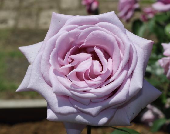 トワイスインナブルーは剣弁高芯咲きです