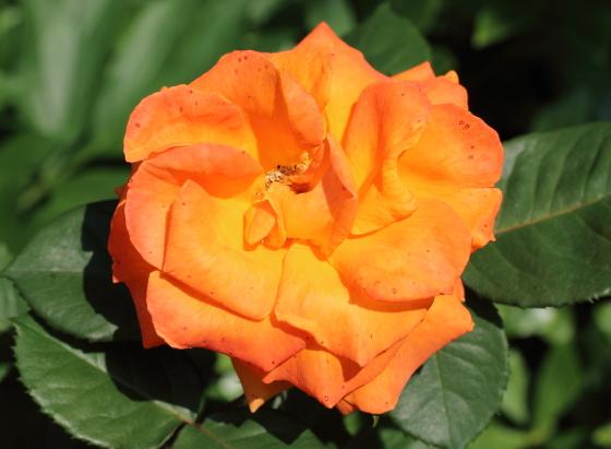 四季咲き性でシーズンを通して咲きます