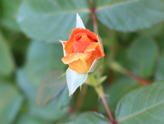 ヴァヴームはツボミの時期は赤銅色に近い濃い黄色です