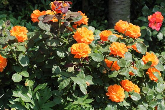 ヴァヴームは1~3輪の房咲きになります